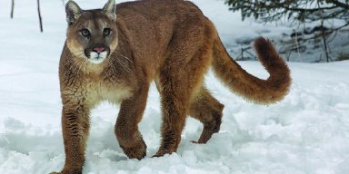 Woman Uses METALLICA Music To Fend Off Cougar